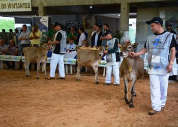 Os animais jovens da raça Jersey foram julgados por categorias